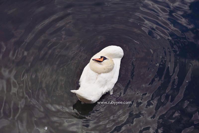 Swan | www.rubyyee.com